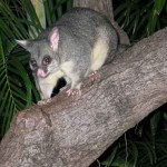 Possum Deterrents Canberra