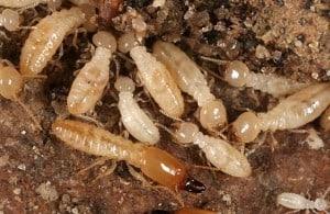 subterrainian termites