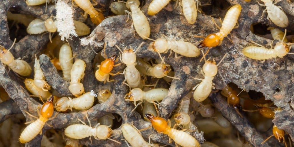video a1 pest control canberra termite talk. Black Bedroom Furniture Sets. Home Design Ideas