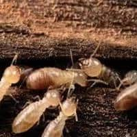 White Ant Control