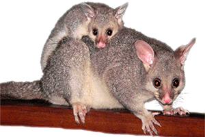 Possums pest control in canberra