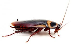 cockroach pest control in canberra