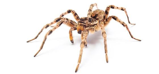 SPIDER PEST CONTROL