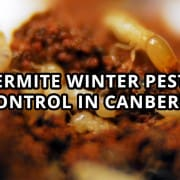 Termite Winter Pest Control in Canberra