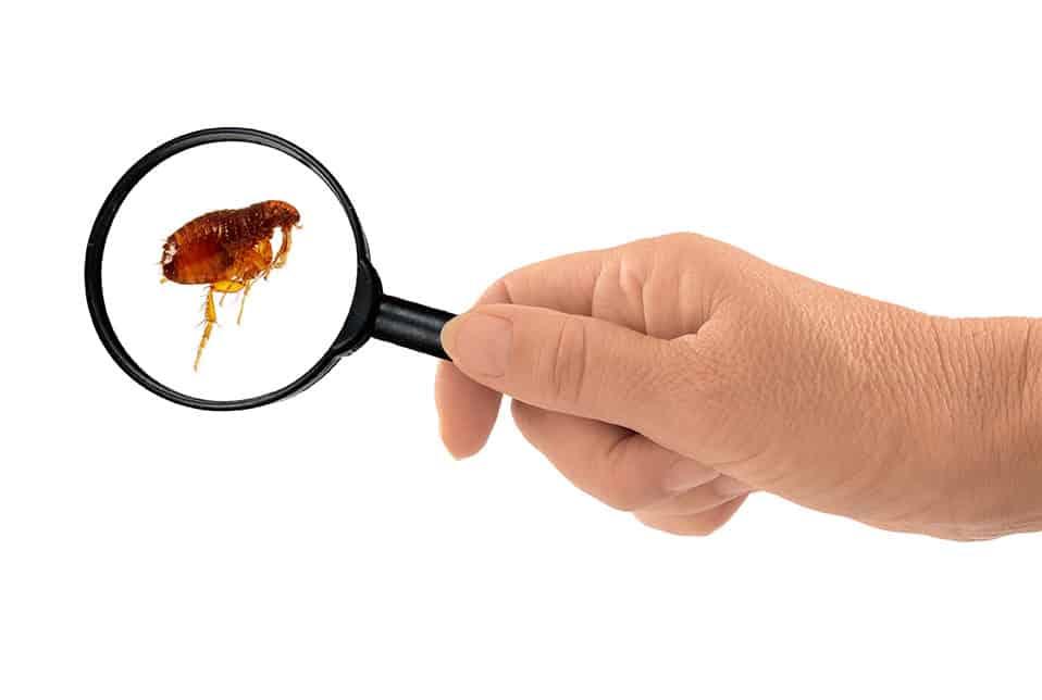 fleas pest control