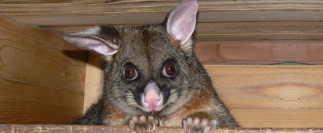 A1 Pest Control Canberra Possum Catchers