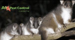 get rid of possums