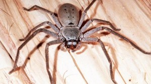spider problems in Canberra