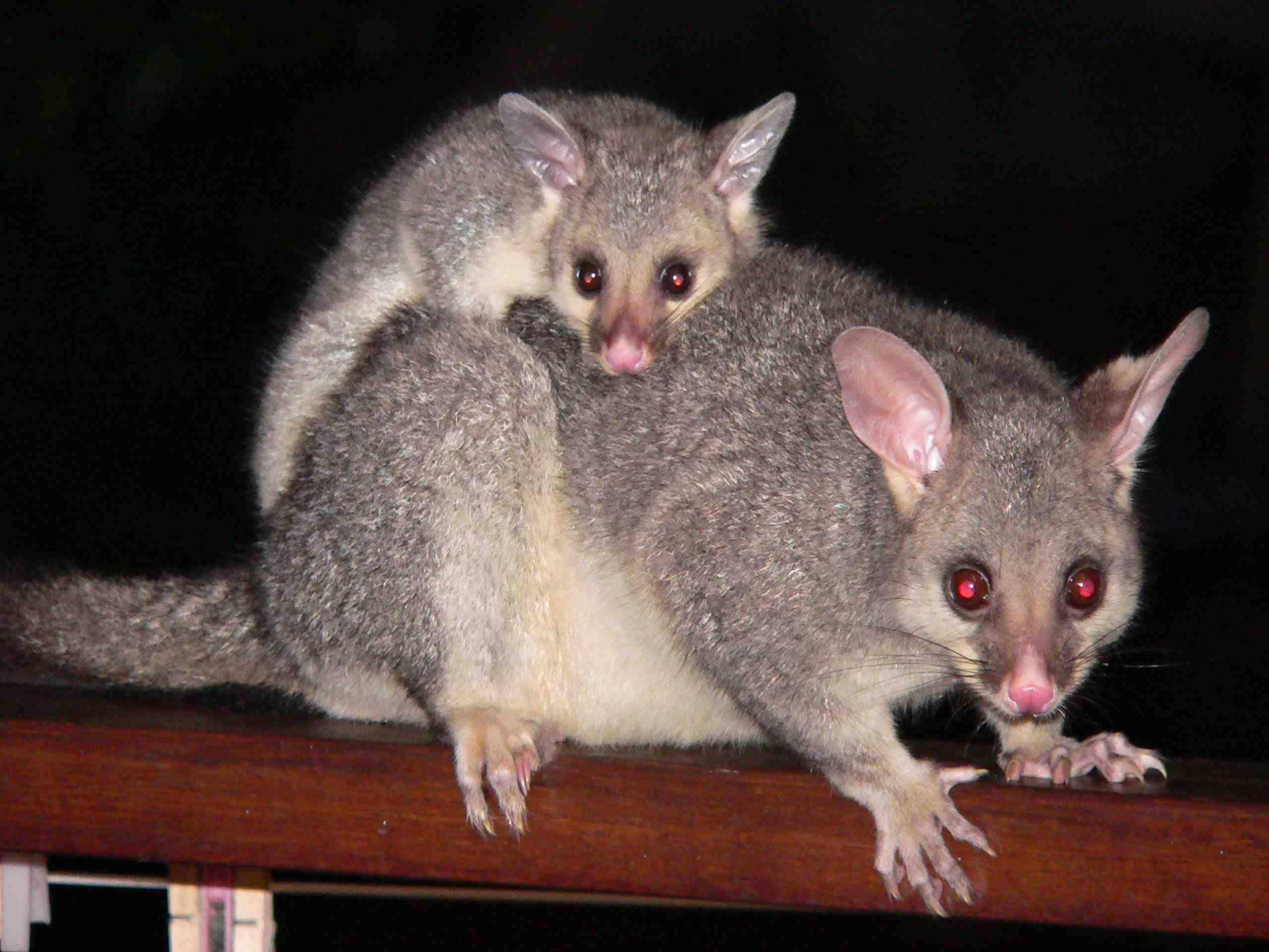 possums found in Australia