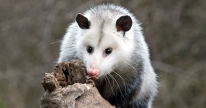 need to get rid of possums