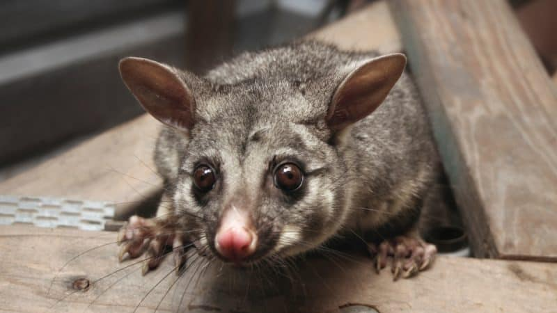Possum Catchers