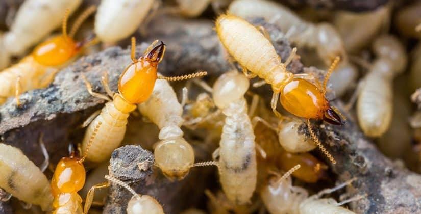 Termites Canberra 1