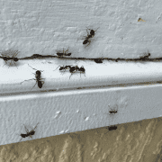 Do you see black ants and ant nests in Canberra?