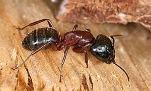 black ants & ant nests
