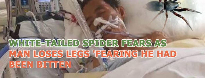 The truth about white tail spider in Canberra