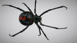 Are White Tailed Spiders Really That Dangerous? 1