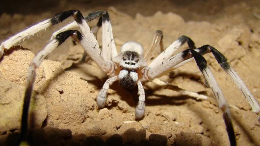 White Tailed Spiders