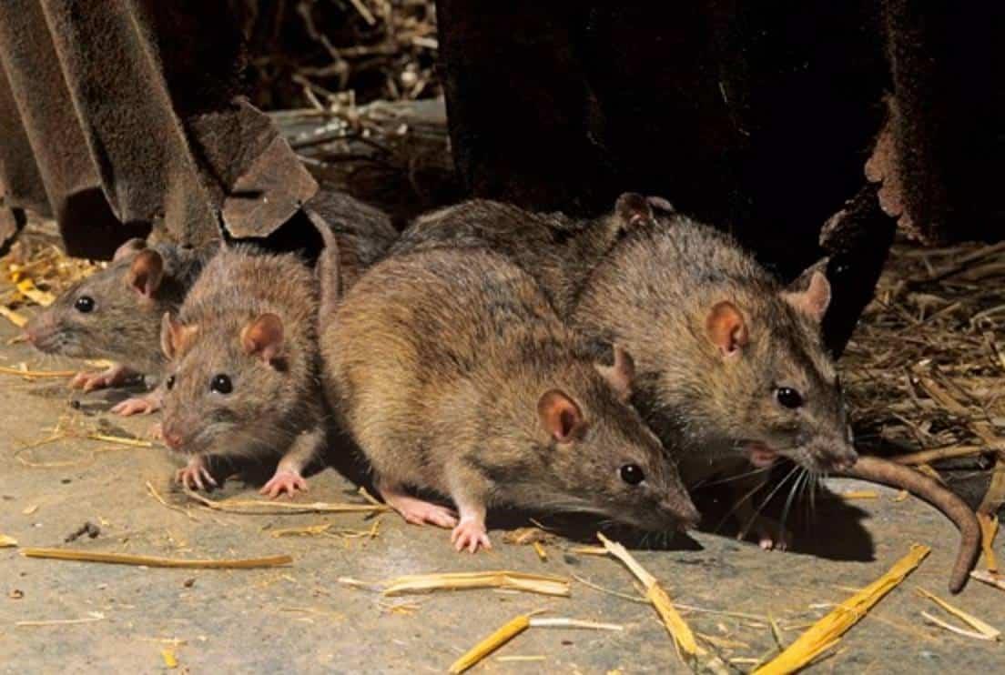 Rodent Problem