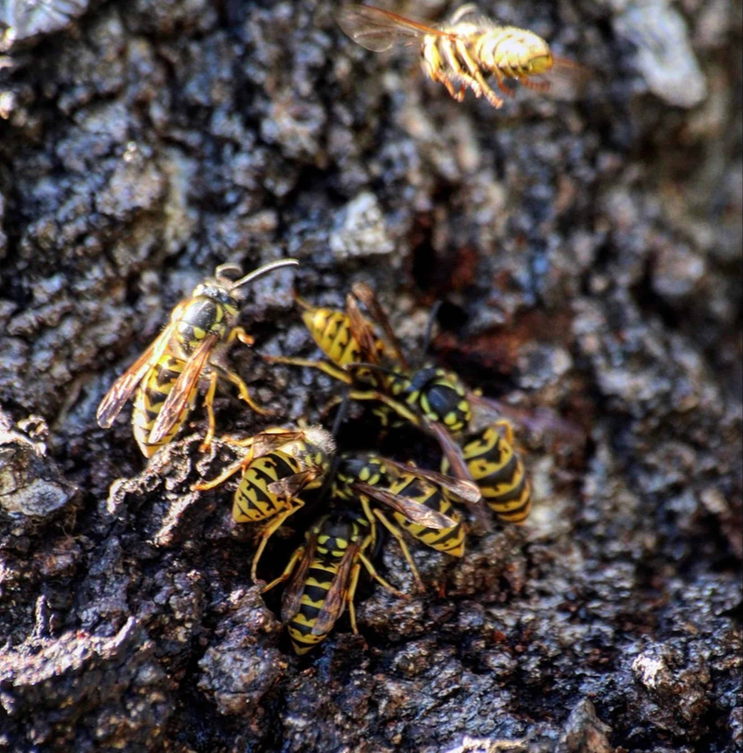 Be Extra Careful: Growing Cases of European Wasp in Canberra 1