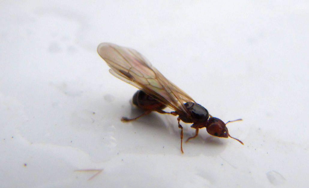 flying termites